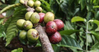 Zelená káva - bôby